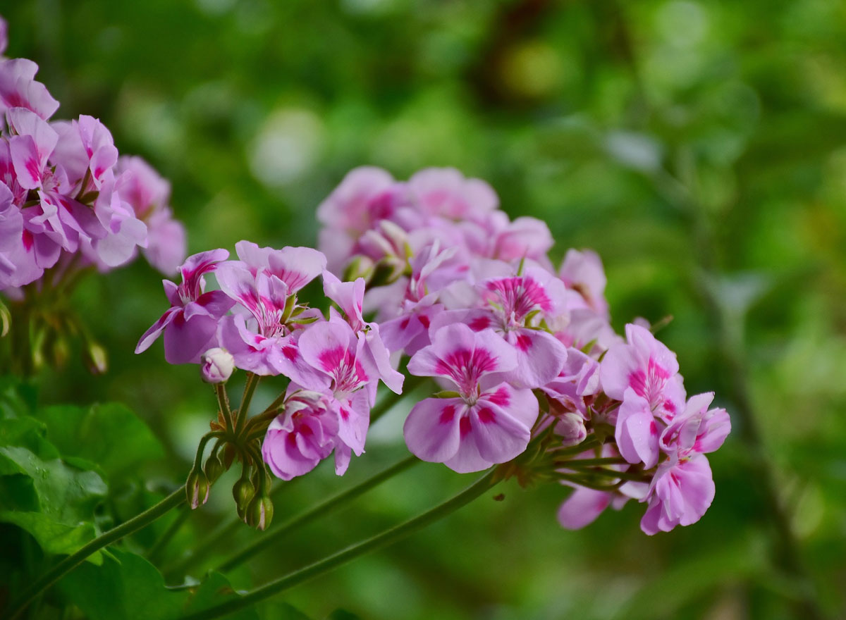 Romantická záhrada s bylinkami: Zemolez
