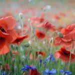 Romantická záhrada s bylinkami: Okrasný mak
