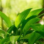 aprílové bylinky: Medvedí cesnak
