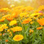 Letničky do farebnej záhrady: Nechtík lekársky