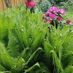 Úzka záhrada s jazierkom: Perovník