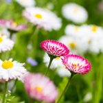aprílové bylinky: Sedmokrásky