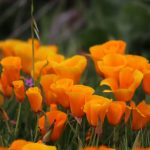 Letničky do farebnej záhrady: Slncovky