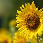 Letničky do farebnej záhrady: Slnečnice