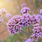 Letničky do farebnej záhrady: Verbena