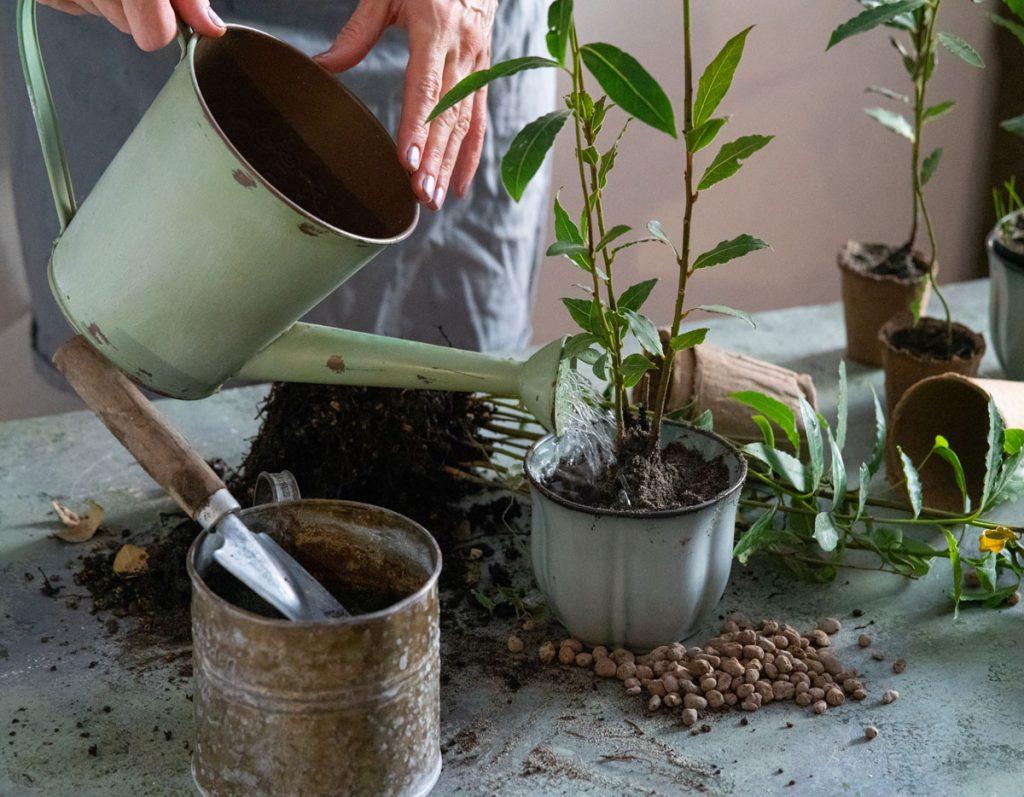 Ako pestovať bobkový list.