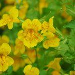Aké druhy kvetov vysadiť okolo jazierka: Čarodejka.