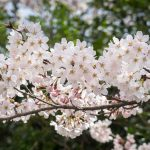 kvet čerešne