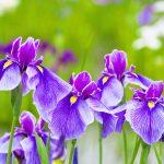 Aké druhy kvetov vysadiť okolo jazierka: Kosatec.