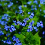 Aké druhy kvetov vysadiť okolo jazierka: Nezábudka.