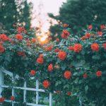 popínavá ruža