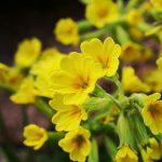 Aké druhy kvetov vysadiť okolo jazierka: Prvosienka.
