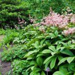 Aké druhy kvetov vysadiť okolo jazierka: Rodgerzia.