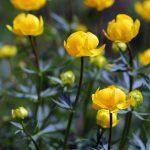 Aké druhy kvetov vysadiť okolo jazierka: Žltohlav.
