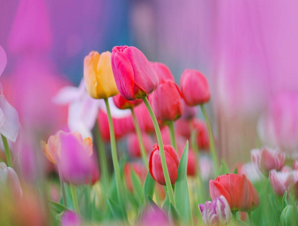 Kedy vybrať tulipány zo zeme