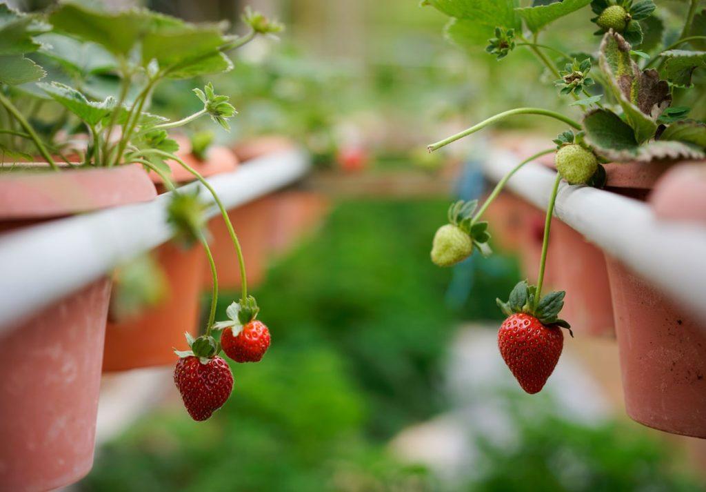 pestovanie jahôd na balkóne