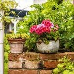 muškáty v starej recyklovanej nádoby uložené na tehlovom múriku v záhrade