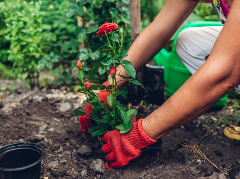 Objednali ste si ruže z internetu? Ako postupovať pri výsadbe, aby sa ujali?