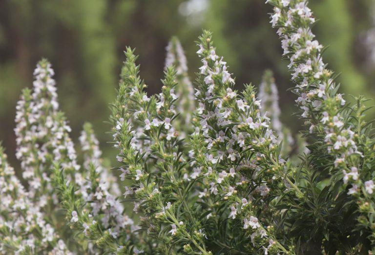 Nedarí sa saturejke prežiť zimu? Môže to byť vami alebo aj rastlinou