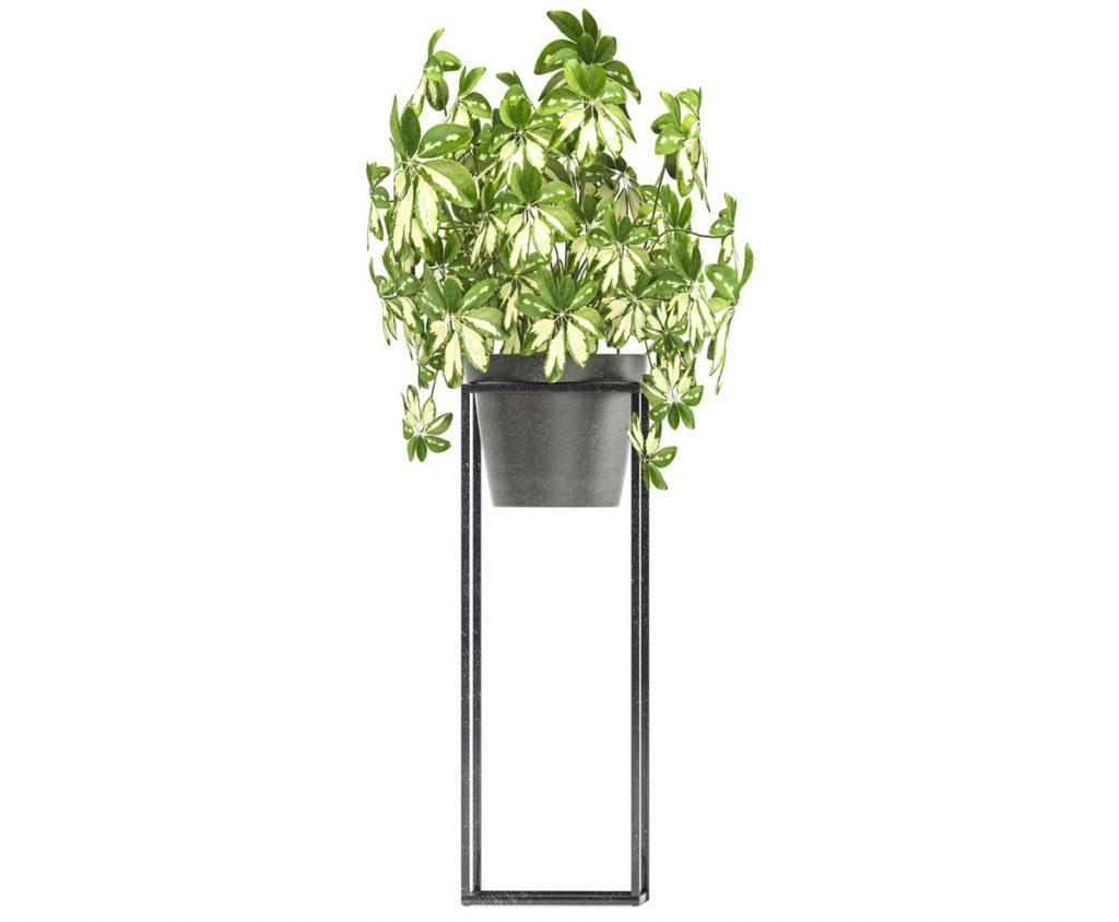 Nenáročné zelené izbové rastliny: šeflera stromovitá