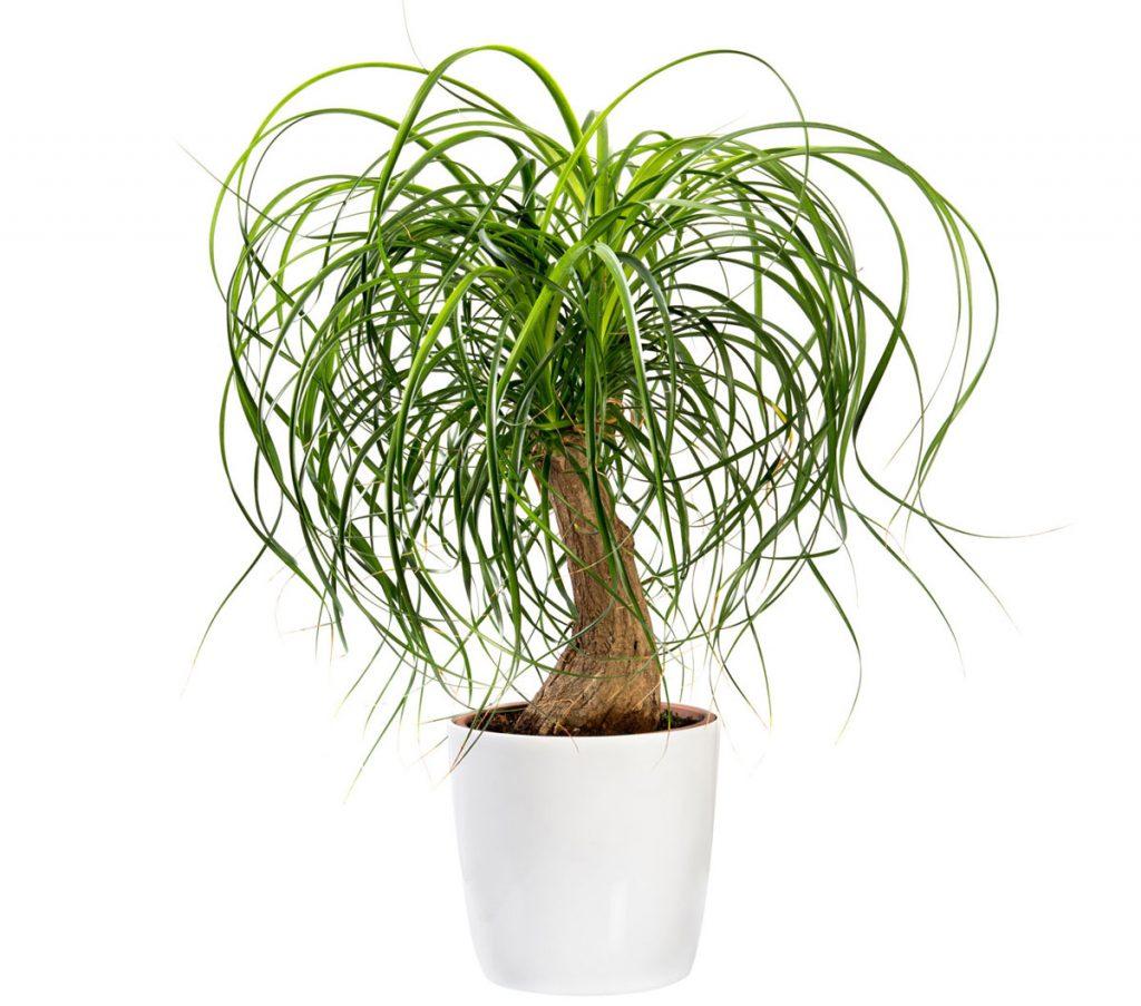 Nenáročné zelené izbové rastliny: nolina