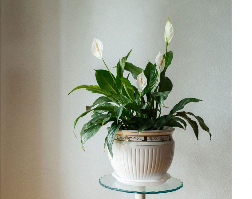 Nenáročné zelené izbové rastliny: lopatkovec