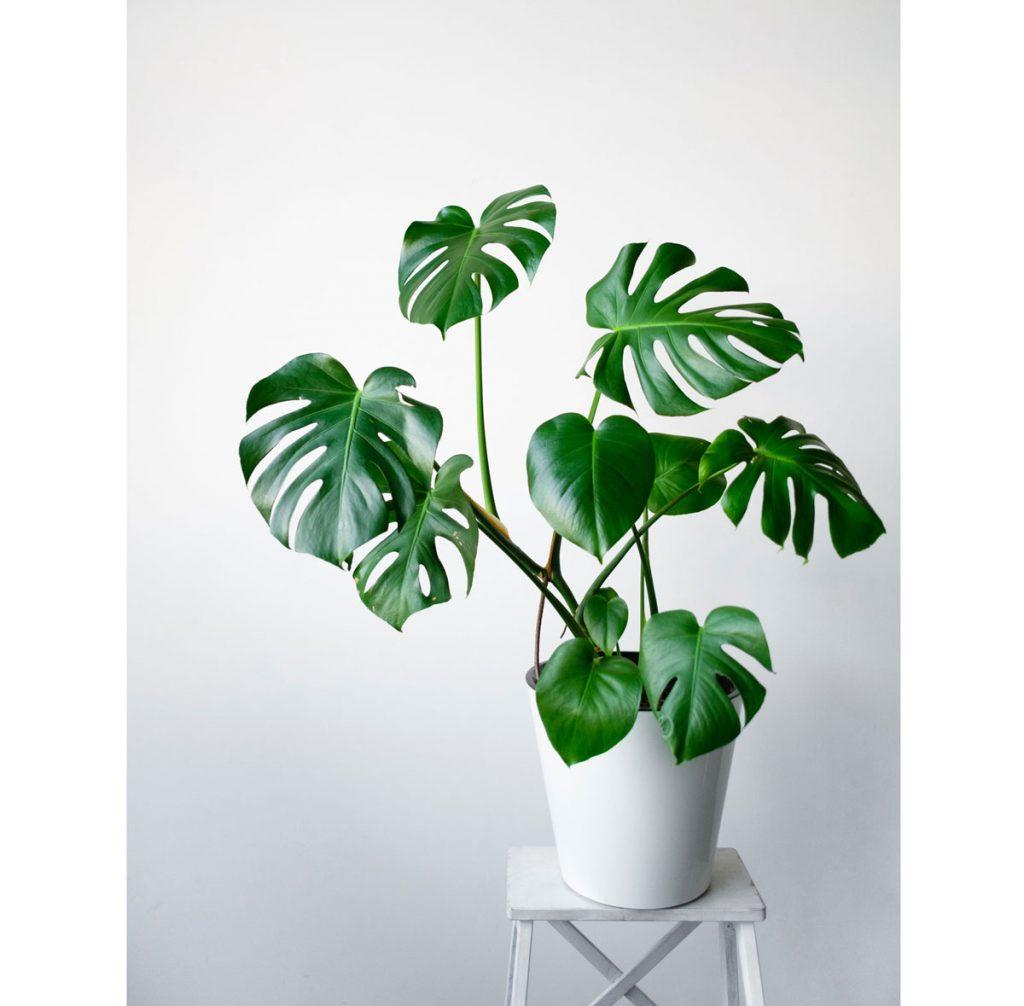 Nenáročné zelené izbové rastliny: monstera