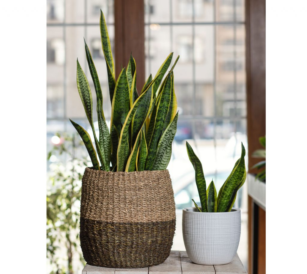 Nenáročné zelené izbové rastliny: svokrine jazyky