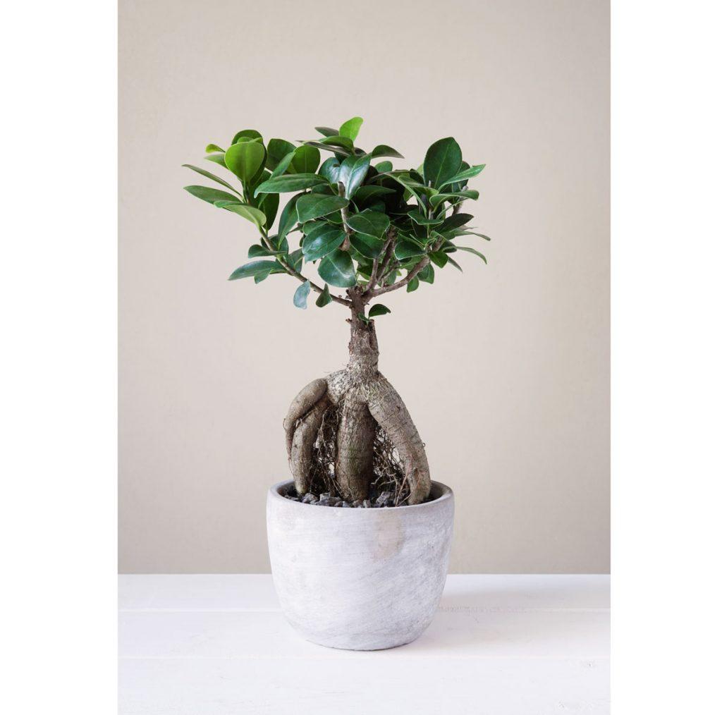 Nenáročné zelené izbové rastliny: figovník