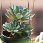Nenáročné zelené izbové rastliny: echevéria