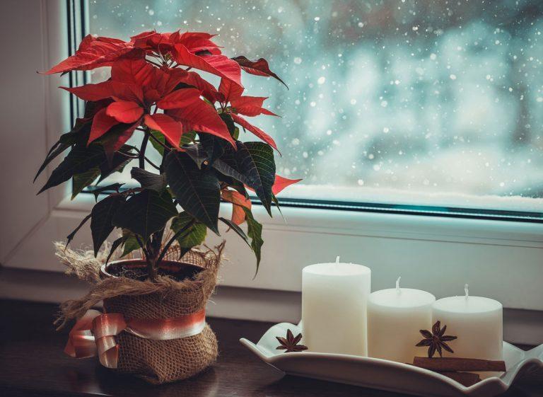 Vianočná ruža, zornica či gaultéria. Viete ako pestovať tieto symboly adventu?