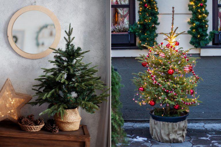 Aký vianočný stromček v kvetináči je vhodný do interiéru a aký pred vchodové dvere?