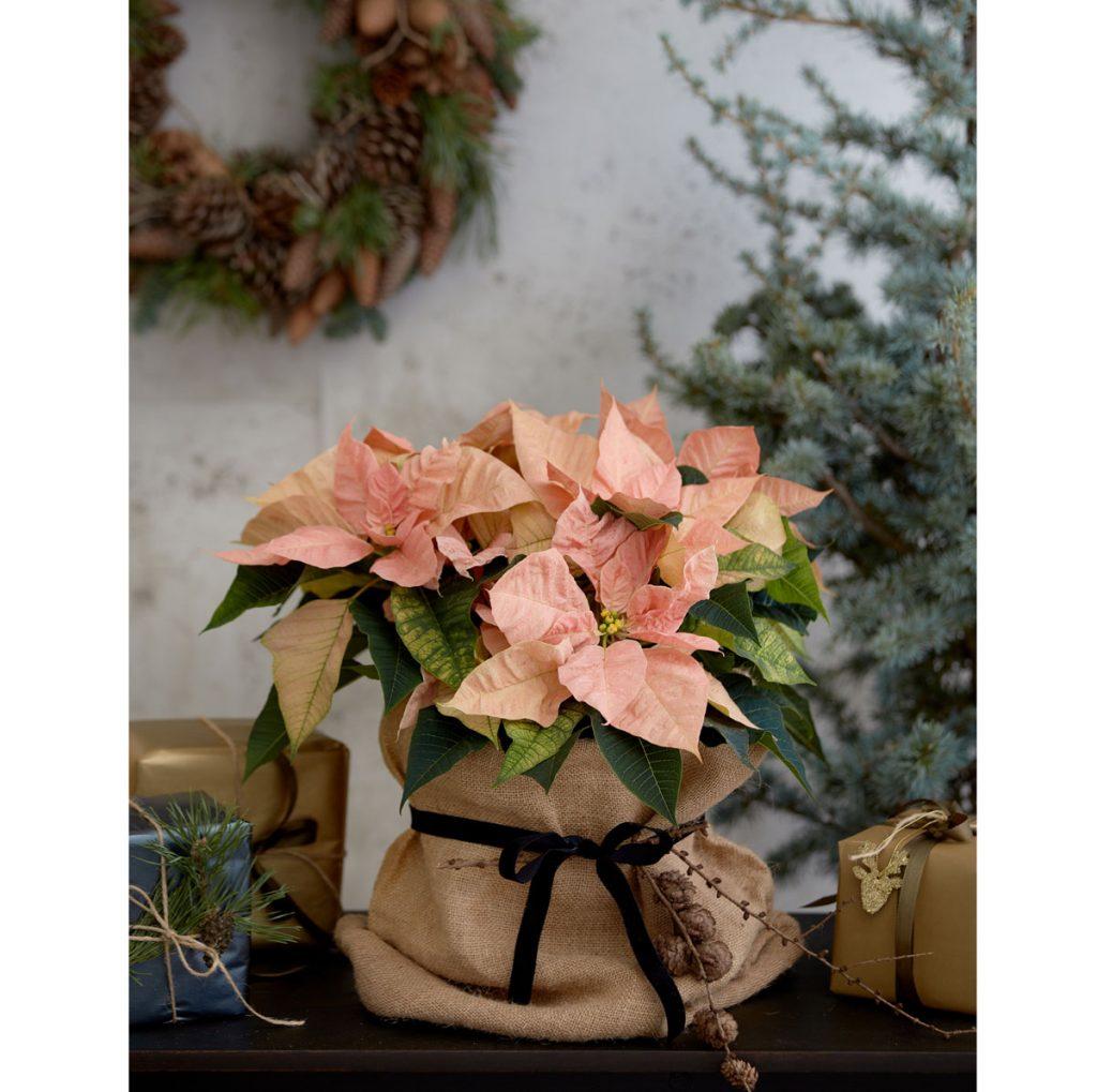 dekorácia z vianočnej ruže umiestnenej v jutovom vrecku