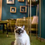 Mačací obyvateľ kaviarne Ragdoll Café