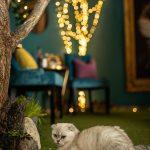 Kaviareň Ragdoll Café: Ragdoll mačka v mačacej kaviarni