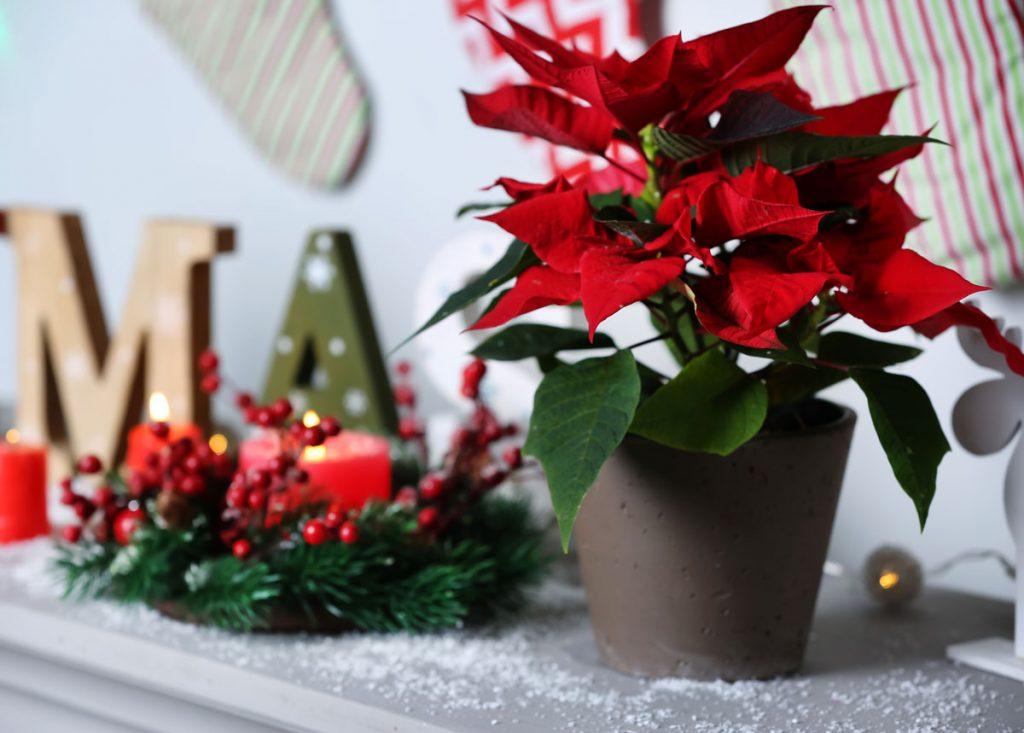 8 nápadov ako vianočnú ružu zakomponovať do sviatočnej výzdoby