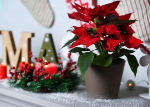 Ako vianočnú ružu zakomponovať do sviatočnej výzdoby