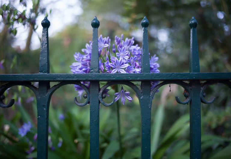 Krásny agapant, ale stále bez kvetov. Čo s tým?