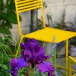 žltá záhradná stolička kontrastuje s modrofialovým kosatcom