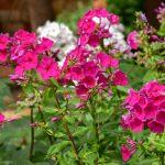 tradičné biele a ružové floxy uplatnené v modernej mestskej záhrade