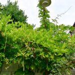 mohutná vistéria ako súčasť mestskej záhrady