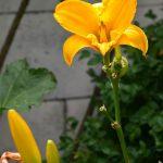žltá odroda nenáročnej ľaliovky, ktorá je súčasťou výsadby v mestskej záhrade patriacej Atelieru Partero
