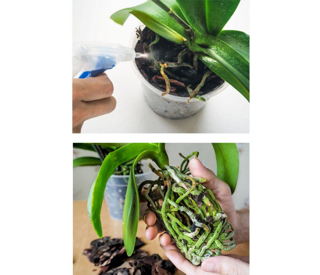 Ako sa starať o orchideu v zime