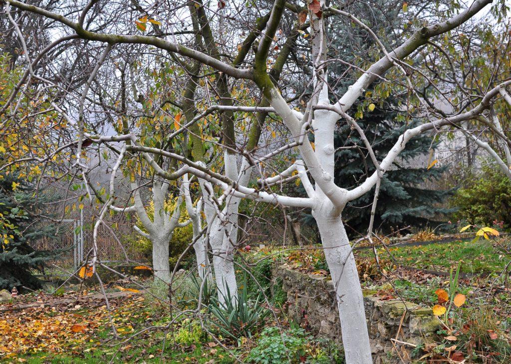 Má zmysel natierať stromy vápnom?