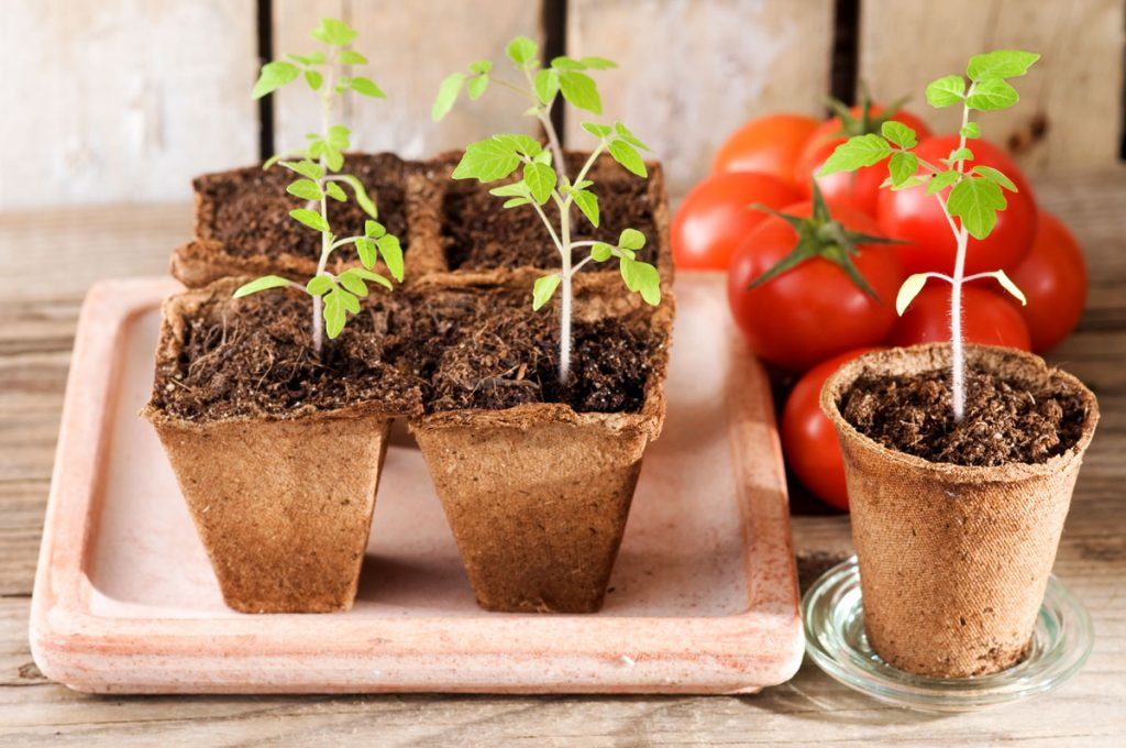 Kedy a ako vysievať paradajky