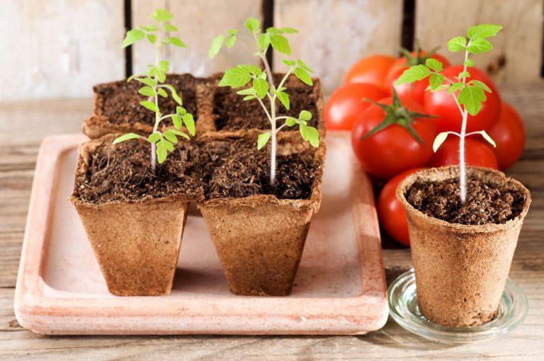 Vysievame paradajky: Kedy začať a ako sa o vysiate semienka starať ?