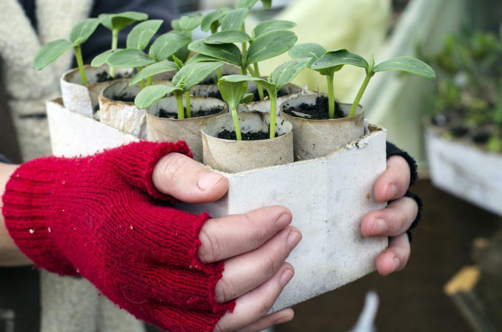 sadenice predpestované v papierovej rolke
