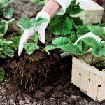 ako presadiť jahody: výber jahôd zo zeme