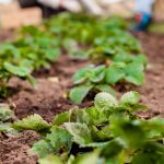 ako presadiť jahody: správne rozostupy