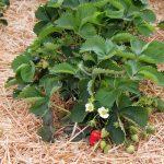 ako presadiť jahody: starostlivosť po výsadbe